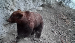 Медведь на Алтае.
