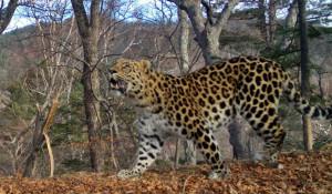 Дальневосточные леопарды.