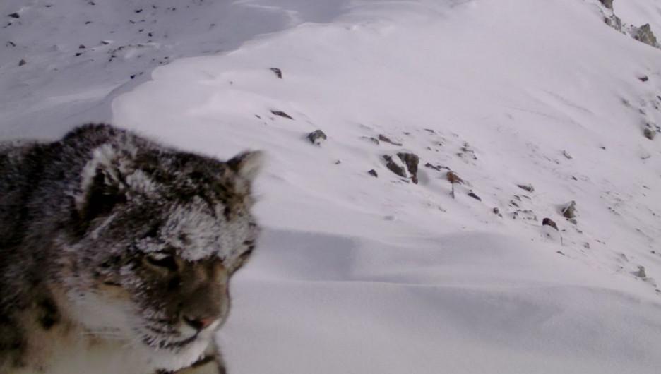 В Бурятии фотоловушка сняла редких снежных барсов.